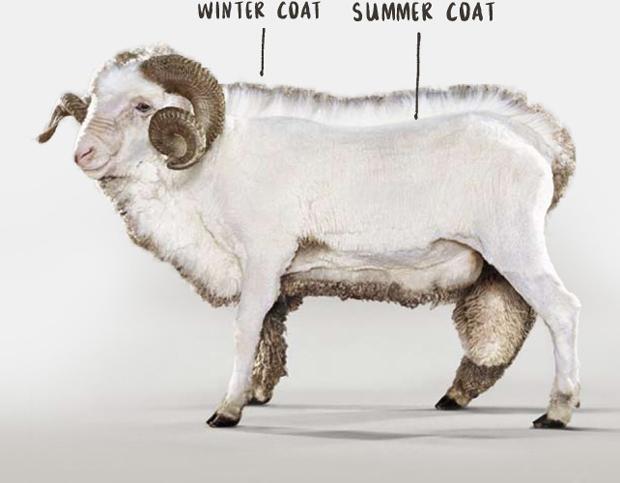 Owca marki Icebreaker