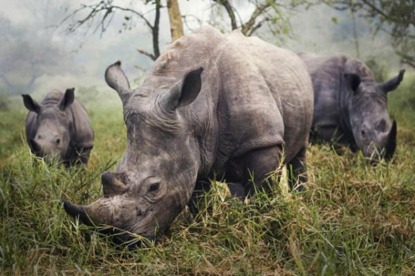 Stefane Berube / National Geographic Traveler Photo Contest, White Rhinos