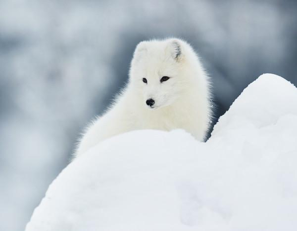 Arctic_Fox_1
