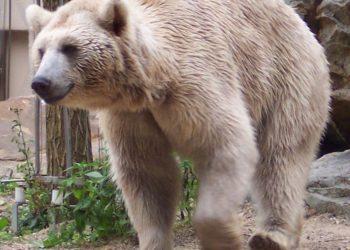 Niedźwiedź syryjski, podgatunek niedźwiedzia brunatnego (fot. wikipedia.org)