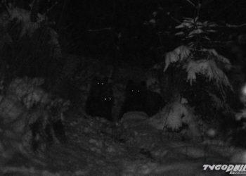 Tatrzańskie niedźwiedzie (fot. Tygodnik Podhalański)